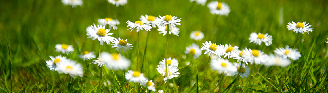 Daisy flowers growing on grass