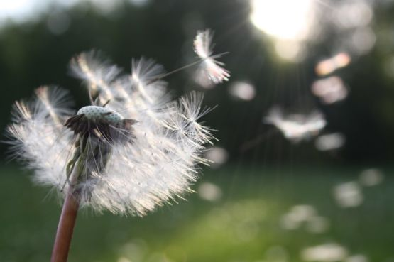 An image of a dandelion