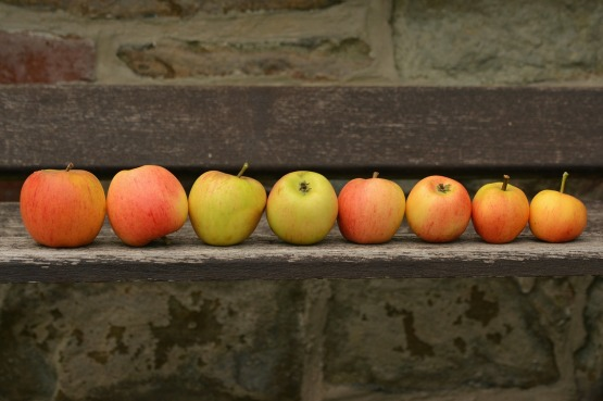 A line of autumnal apples
