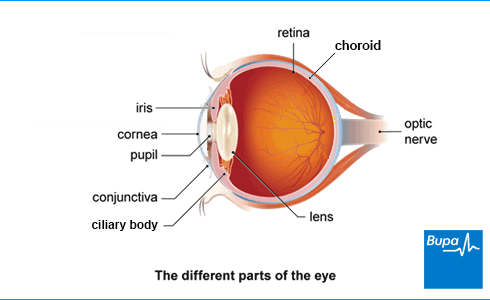 An image showing different parts of the eye