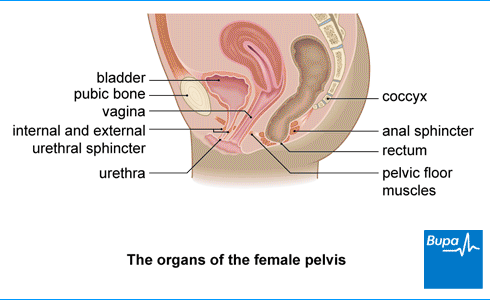 Image showing the organs of the female pelvis