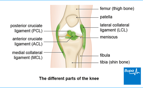 An image showing the different parts of the knee