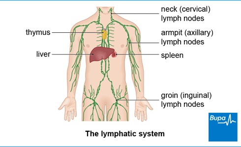An image showing a diagram of the lymphatic system