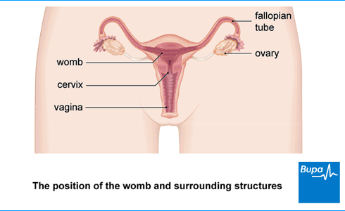 An image showing the female reproductive system