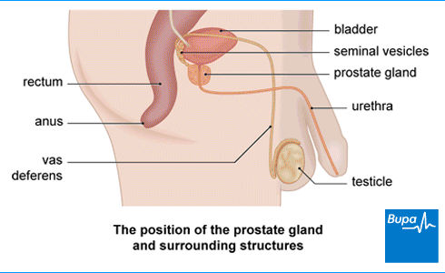 An image showing the position of the prostate gland and surrounding structures