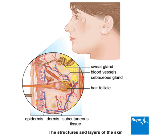 An image showing the structures and layers of the skin