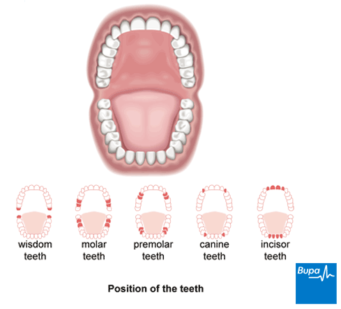 A diagram illustrating the position of the teeth in the mouth